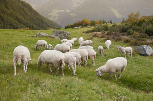 delle pecore in montagna che mangiano