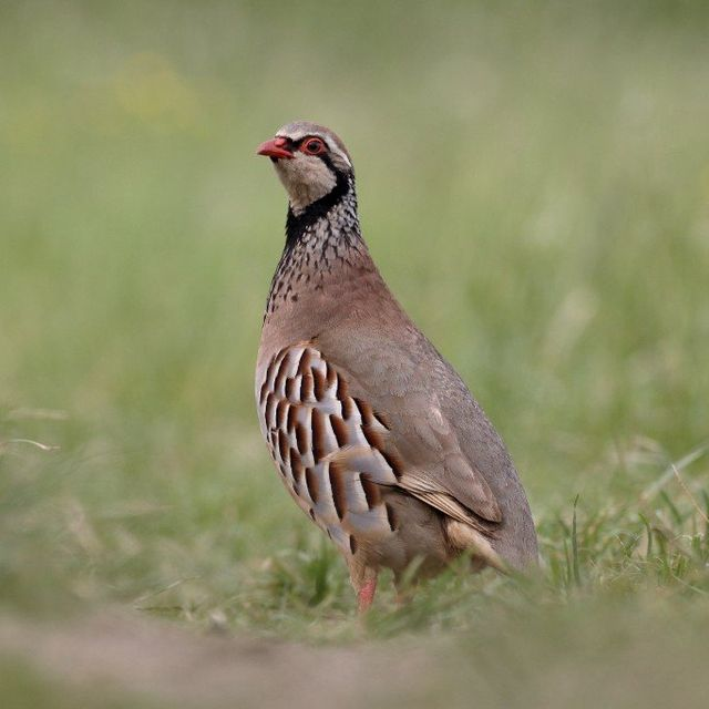 Game Bird Sales - The Royal United Company