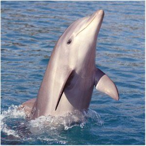 Wild bottlenose dolphin pops out of water on dolphin cruise near Hilton Head Island, SC