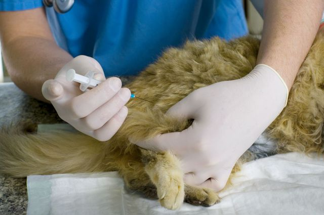 A veterinarian giving a kitten a vaccination in Amelia, OH