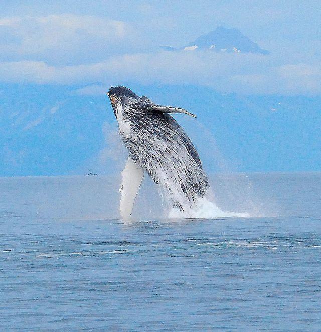 Giant Orca
