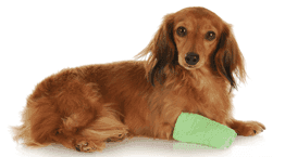 cane con una fasciatura sulla zampa anteriore