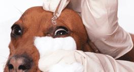 veterinario mette collirio a un cane