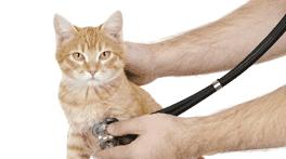 veterinario che ascolta il cuore di un gatto