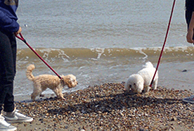 Two dogs being walked along the beach