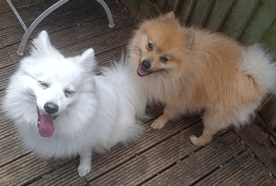 Two small, fluffy dogs