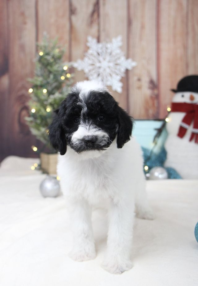 Available Bernedoodle Puppies