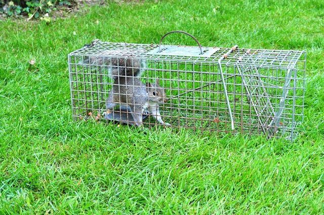 Squirrel in humane trap cage