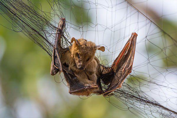 Bat catching in net
