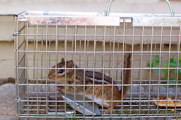 Chipmunk in humane trap cage