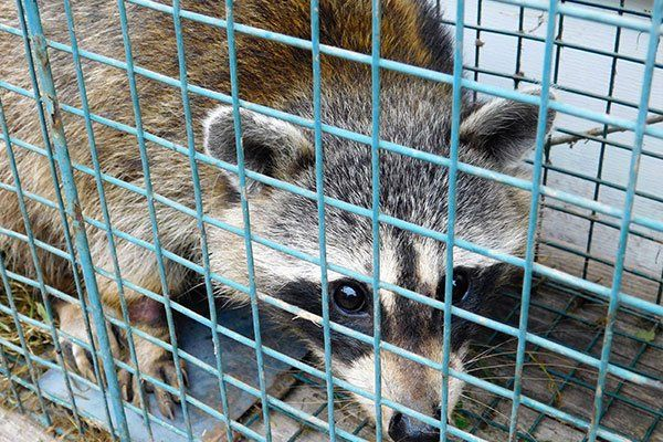 Raccoon Trapping St Louis Mo 24 7 Animal Amp Pest Control