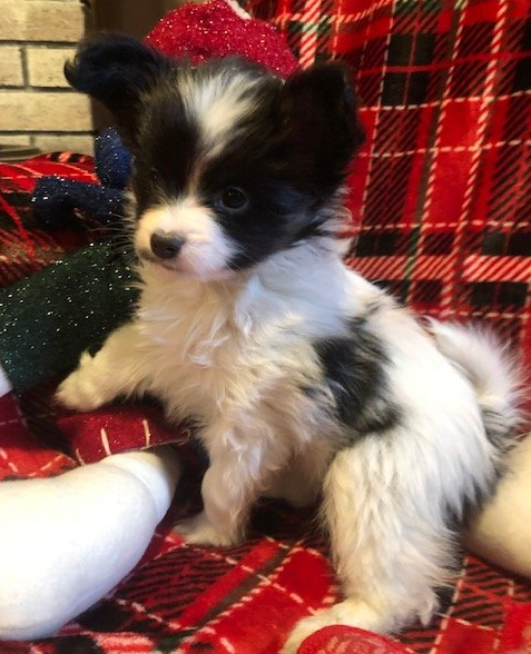 A Breed Apart Papillons | Puppies