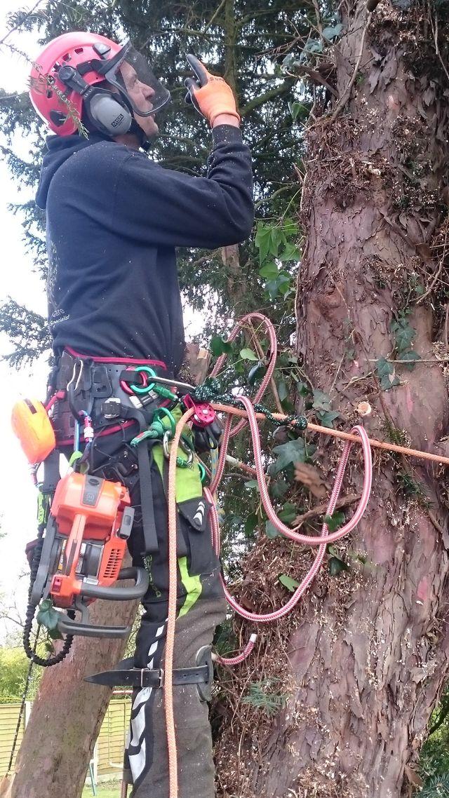 Large shrub maintenance