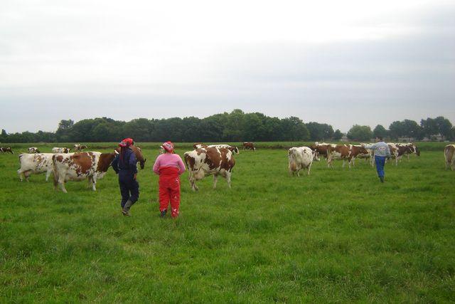 koeien uit de wei halen