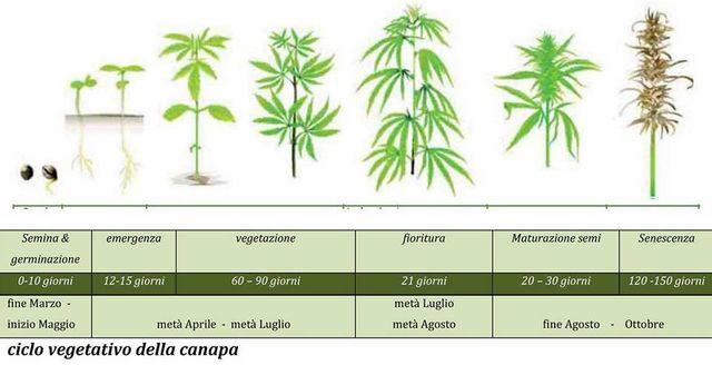 Ciclo di crescita della canapa per coltivazione di semi di canapa in Sicilia