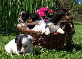 Jack Russell puppies for sale!