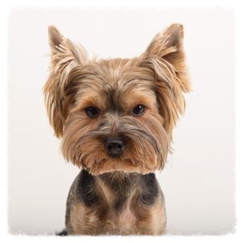 cute-yorkshire-terrier-