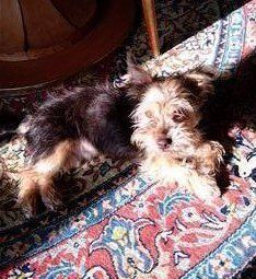 Yorkshire Terrier Italy