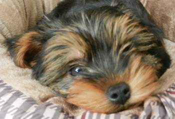 10 week old tiny Yorkie puppy