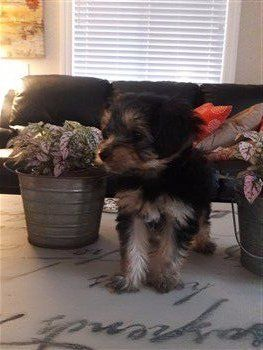 Yorkshire Terrier posing, 8 weeks old