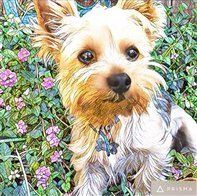 yorkie-puppy-outdoors-in-flowers