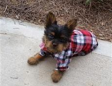 Yorkie in flannel shirt