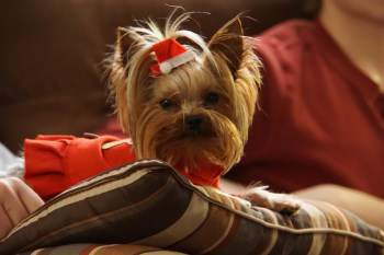 3 pound Yorkshire Terrier