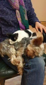 Yorkshire Terrier sleeping with cat