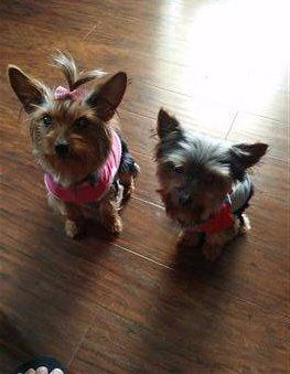 two-yorkies-boy-and-girl