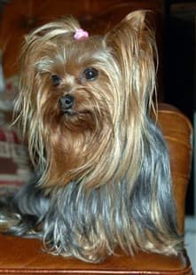 6 year old Yorkshire Terrier