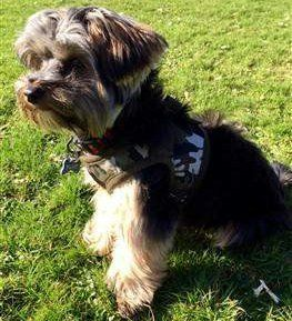 Yorkie wearing camo harness