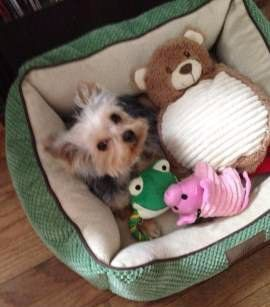 7 month old female Yorkie