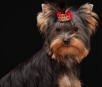 Yorkshire Terrier young adult dog