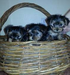 basket of Yorkie puppies