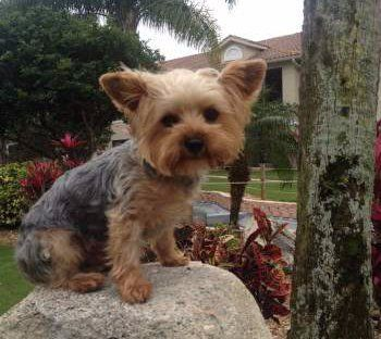 6 pound Yorkshire Terrier