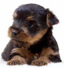 black and tan Yorkie puppy