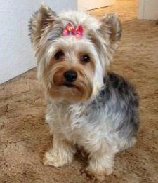 blue and tan adult Yorkie