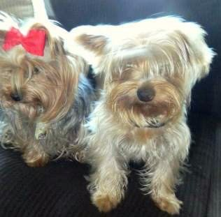 boy and girl Yorkies