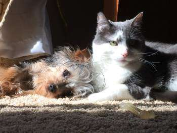 cat and Yorkshire Terrier