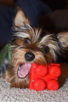 Yorkie chewing on plastic toy