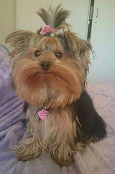 female Yorkie dog with pink bow