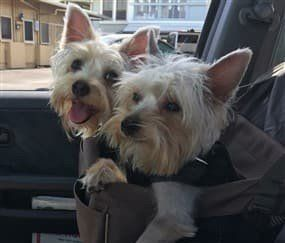 Yorkies in a car seat