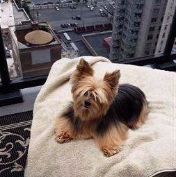 really fluffy Yorkie