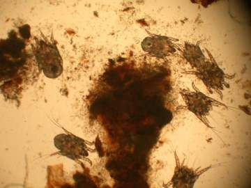 dog ear mites under a microsope