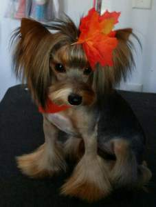 Yorkshire Terrier Flared Hair Cut