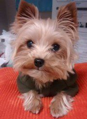 Yorkshire Terrier with erect ears