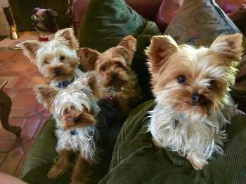 family of Yorkies