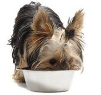 yorkshire-terrier-eating-from-bowl