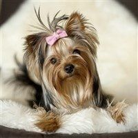 female yorkie-well-groomed