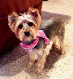 female Yorkshire Terrier moodiness